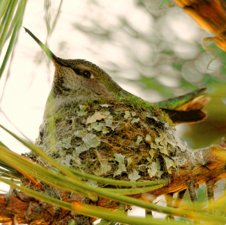 WHSIM-annas-mother-to-be-hummingbird